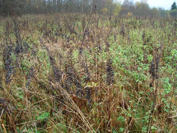 На полях летом цветёт очень много сиреневого люпина, он сидерат и очень полезен для почвы. Кстати, тип почвы - суглинок