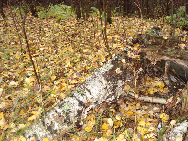 В лесных изгородях хорошая удобрена почва. Растёт много серой ольхи
