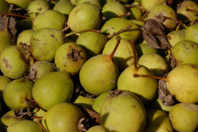 Медовая корнесобственная грушка удивила в этом году некрупными, но ароматными плодами.