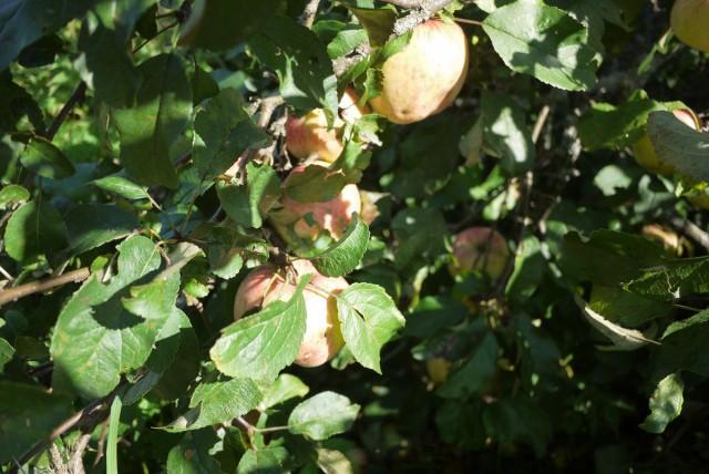 Дочка этой яблоньки плодоносила первый раз в этом году, яблочки получились даже крупнее и вкуснее, с чудесным цветочным ароматом.